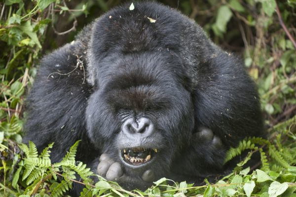 Mountain Gorilla (Gorilla beringei beringei) silverback adult male, close-up of head and shoulders, yawning, resting in vegetation, Volcanoes N.P., Virunga Mountains, Rwanda