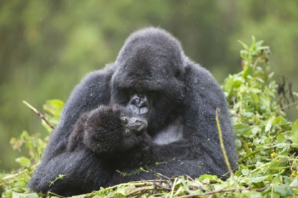 Mountain Gorilla (Gorilla beringei beringei) adult female with young, sitting on nest during rainfall, Volcanoes N.P., Virunga Mountains, Rwanda