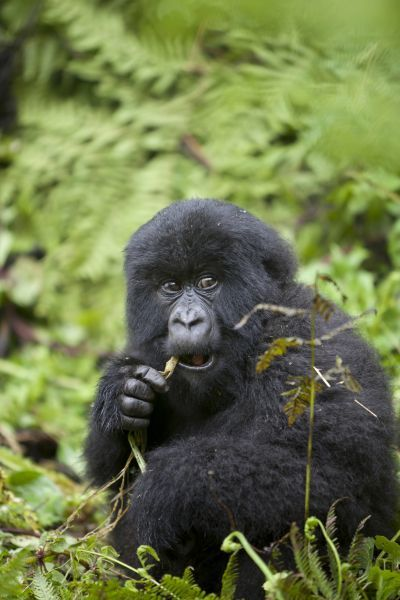Mountain Gorilla (Gorilla beringei beringei) young, feeding, sitting in vegetation, Volcanoes N.P., Virunga Mountains, Rwanda