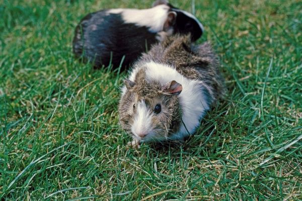 Domestic Guinea Pig (Cavia porcellus) two adults, standing on grass, England