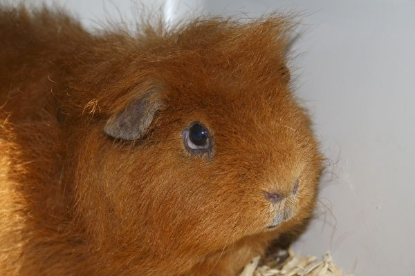 Domestic Guinea Pig (Cavia porcellus) adult, close-up of head, with 'fatty eye' condition, Suffolk, England, april