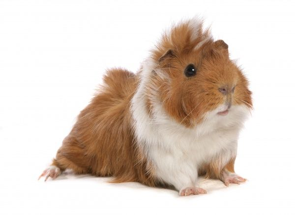 10496-00193-831. Domestic Guinea Pig (Cavia porcellus) adult, standing