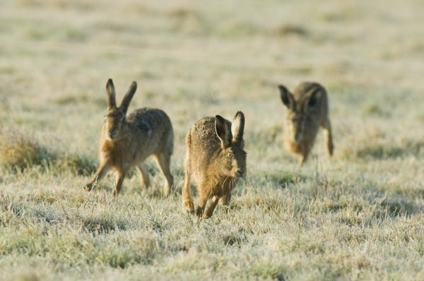 European Hare (Lepus europaeus) three adults, chasing, running across frost covered grass, Kent, England, february