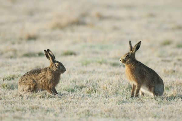 European Hare (Lepus europaeus) two adults, sitting on frost covered field, Kent, England, february