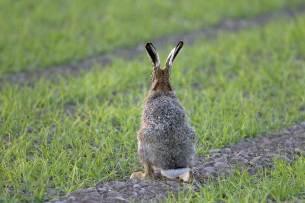 European Hare (Lepus europaeus) adult, rear view, sitting alert in crop field, Berwickshire, Scottish Borders, Scotland, may