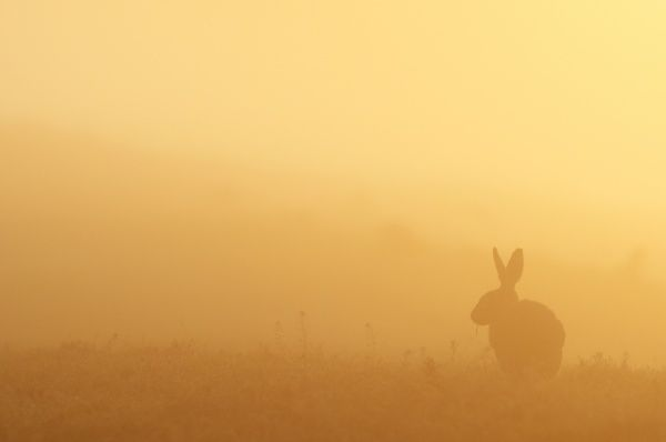 European Hare (Lepus europaeus) adult, feeding, silhouetted at sunrise, North Kent Marshes, Isle of Sheppey, Kent, England, may