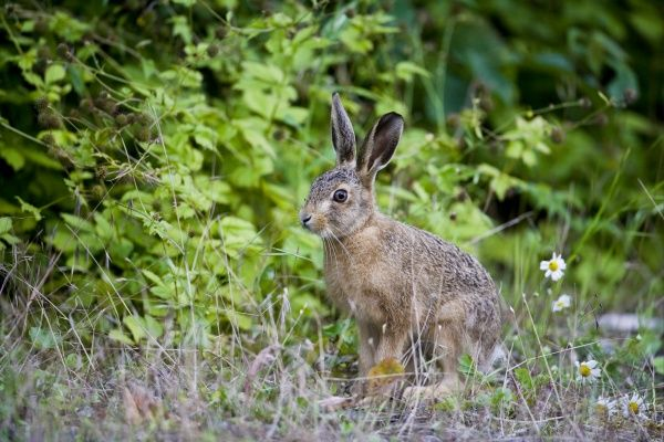 European Hare (Lepus europaeus) leveret, emerging from hedgerow, County Durham, England, july