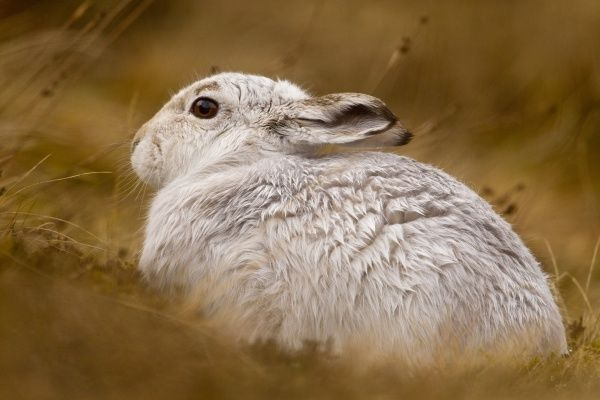 Mountain Hare (Lepus timidus) adult, white winter coat, sitting in heather, Cairngorm N.P., Highlands, Scotland, january