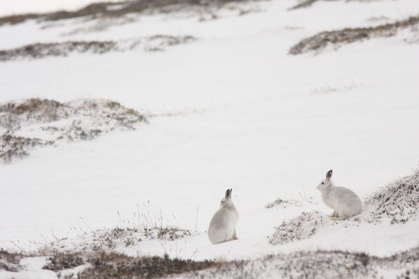 Mountain Hare (Lepus timidus) two adults, white winter coat, sitting on snow in upland habitat, Strathspey, Cairngorm N.P., Highlands, Scotland, december