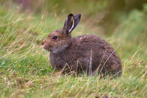 Mountain Hare (Lepus timidus) adult, sitting in grass on moorland, Lammermuir Hills, Scottish Borders, Scotland, september