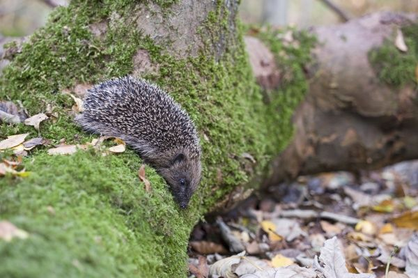 European Hedgehog (Erinaceus europaeus) young, on moss covered log in woodland, Norfolk, England, october