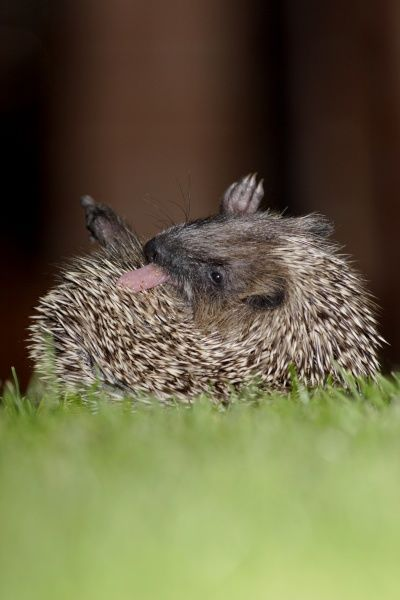 European Hedgehog (Erinaceus europaeus) young, anointing itself with saliva froth, on garden lawn at night, Yorkshire, England, september
