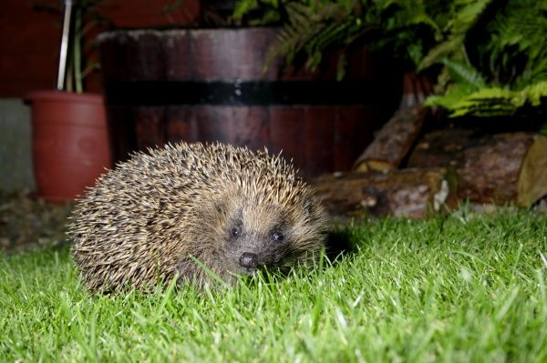 European Hedgehog (Erinaceus europaeus) adult, standing on garden lawn at night, Yorkshire, England, september