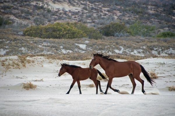 Feral Horse, mare and foal, trotting on beach, Cabo Frailes, Baja California Sur, Mexico, march