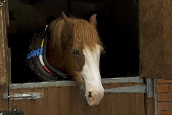 Horse, Welsh Cob, adult, in stable awaiting harness prior to pulling tourist canal boat along Llangollen Lock, Llangollen Wharf, Clwyd, Wales, june