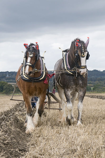 10555-00015-231. Clydesdale Horse, two adults