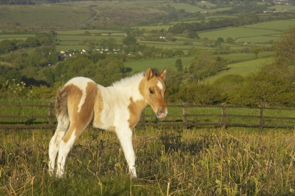 Dartmoor Pony, foal, skewbald, standing on moorland, Tavy Valley in background, Dartmoor N.P., Devon, England