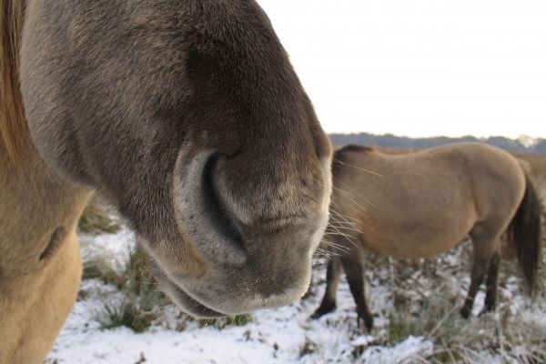 Konik Horse, geldings, close-up of nose, in snow covered river valley fen, Redgrave and Lopham Fen N.N.R., Waveney Valley, Suffolk, England, november