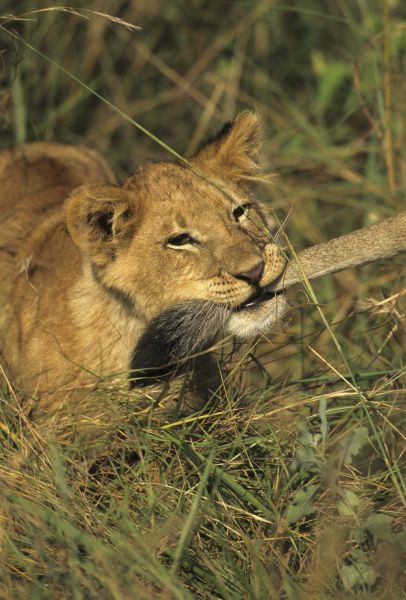 Lion (Panthera leo) Young holding anothers tail in mouth - Masai Mara, Kenya