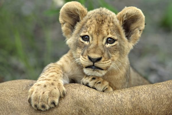 Lion (Panthera leo) Cub with paws on adult, Sabie Sand Game Reserve, South Africa