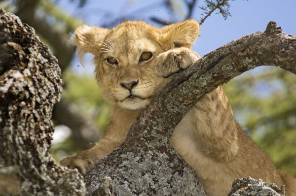 Lion (Panthera leo) young, close-up of head, tree climbing, Serengeti N.P., Tanzania