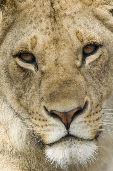 10670-02264-674. Lion (Panthera leo) immature, close-up of face, Serengeti N.P., Tanzania