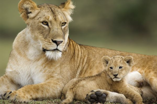 Lion (Panthera leo) adult female with young cub, resting, Serengeti N.P., Tanzania