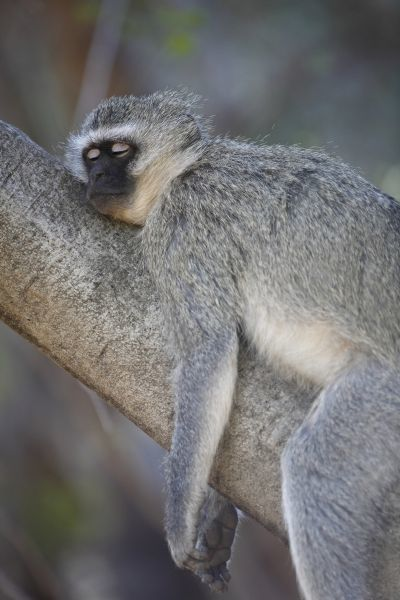 Vervet Monkey (Chlorocebus aethiops) adult, sleeping on tree branch, Pilanesberg Game Reserve, South Africa