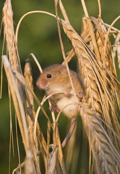 Harvest Mouse (Micromys minutus) adult, climbing amongst barley stalks, Norfolk, England, july