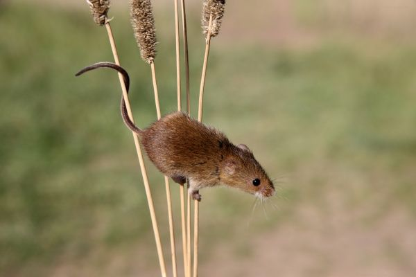 Harvest Mouse (Micromys minutus) adult, climbing on stems, Midlands, England, september