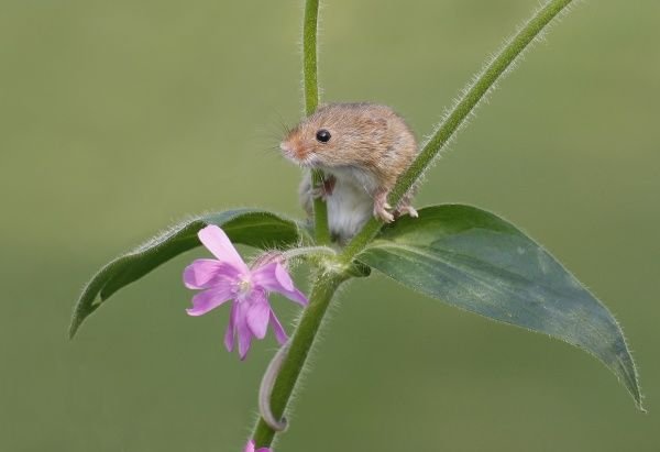 Harvest Mouse (Micromys minutus) adult, climbing on flowering geranium, Lincolnshire, England, april (controlled)