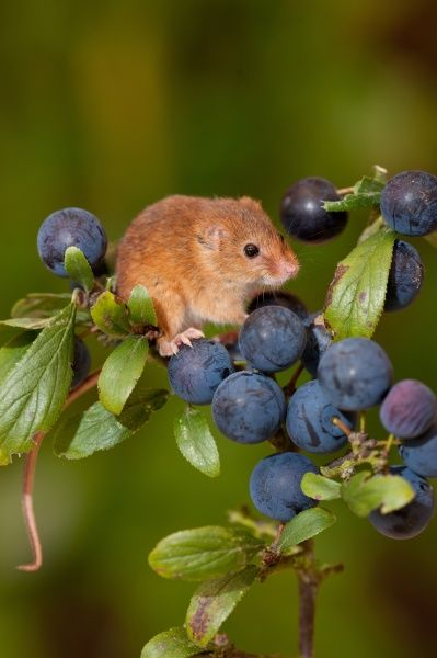Harvest Mouse (Micromys minutus) adult, climbing on Blackthorn (Prunus spinosa) fruit, Norfolk, England, august