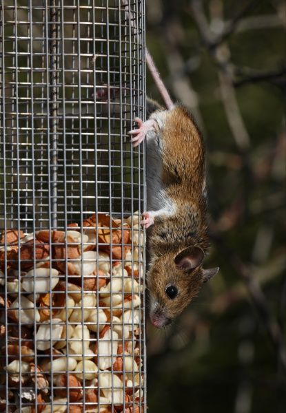 Wood Mouse (Apodemus sylvaticus) adult, feeding on peanuts from garden birdfeeder, Norfolk, England, march