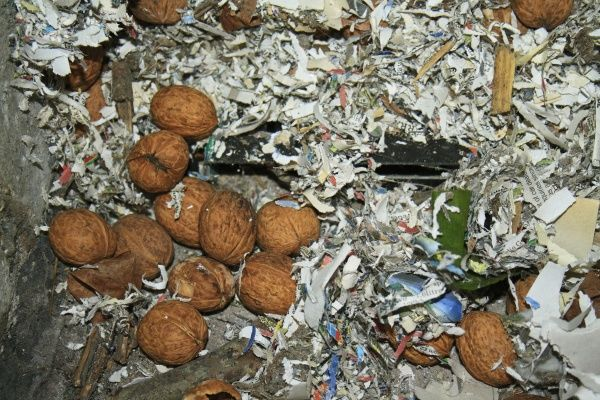Wood Mouse (Apodemus sylvaticus) food cache, Common Walnut (Juglans regia) nuts stored amongst shredded paper in garden shed, Suffolk, England, november