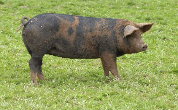 10888-00315-821. Domestic Pig, Duroc x Berkshire porker, standing on grass, England