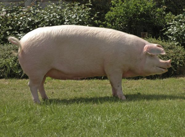Domestic Pig, Landrace sow, '266 Ceirios Marilyn 34', supreme champion modern pig, Three Counties Show, England