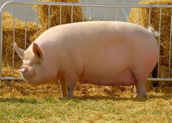 10888-00344-821. Domestic Pig, Middle White sow