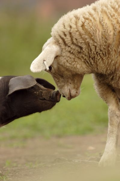 Domestic Pig, British Saddleback piglet, with lamb, sniffing each other, on organic farm, West Yorkshire, England, july