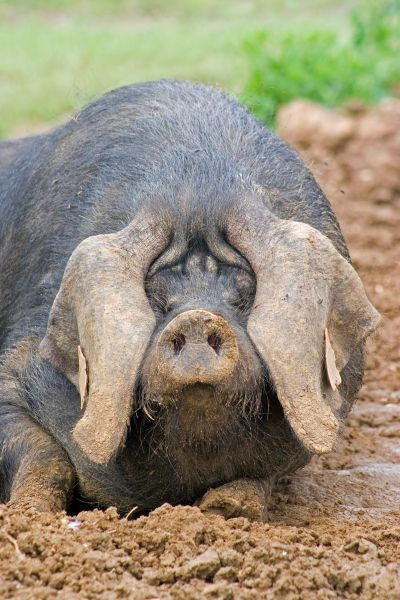 Domestic Pig, Large Black, free-range sow, close-up of head, wallowing in mud, England