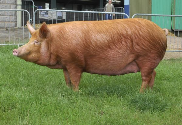 Domestic Pig, Tamworth gilt, 'Stoneymoor Golden Rose 6', show champion, Three Counties Show, England