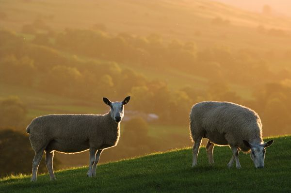 Domestic Sheep, Blue-faced Leicester, two ewes grazing on hillside, backlit by autumn sunlight, England