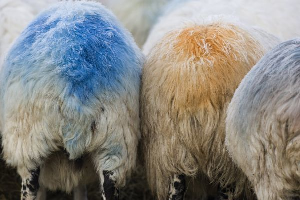 Domestic Sheep, ewes, close-up of rumps with colour mark from raddle, to indicate they have mated with ram, Cumbria, England, winter