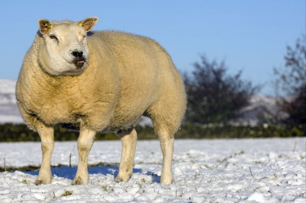Domestic Sheep, Beltex, standing on snow covered pasture, Kirkby Stephen, Cumbria, England, winter
