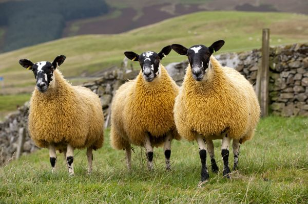 Domestic Sheep, Scotch mules, Blue-faced Leicester ram x Blackface ewe, three lambs, standing in pasture, Cumbria, England, september