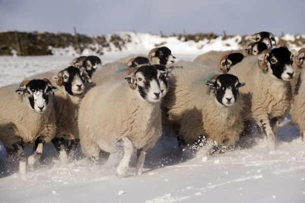 Domestic Sheep, Swaledale flock, running in snow covered upland pasture, Cumbria, England, november