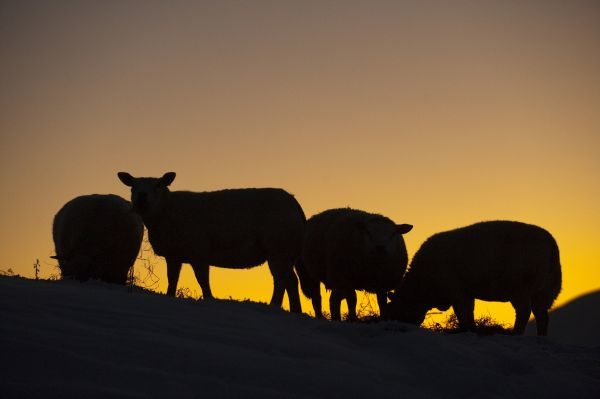 Domestic Sheep, four adults, feeding on hay in snow, silhouetted at sunset, England, december