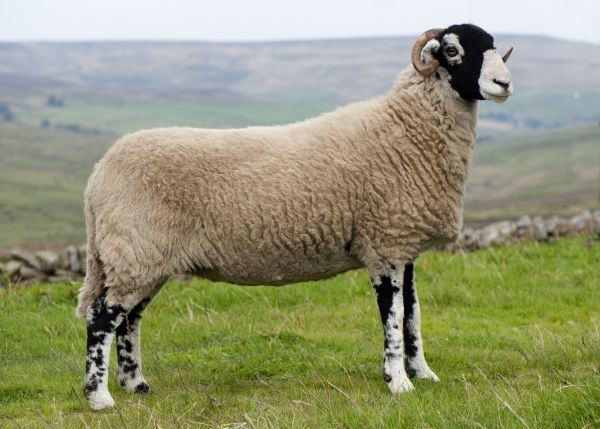 11052-00935-798. Domestic Sheep, Swaledale ewe, standing on moorland, England, september