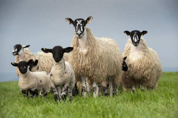Domestic Sheep, mule hoggs with Suffolk sired lambs at foot, standing in pasture, England, may