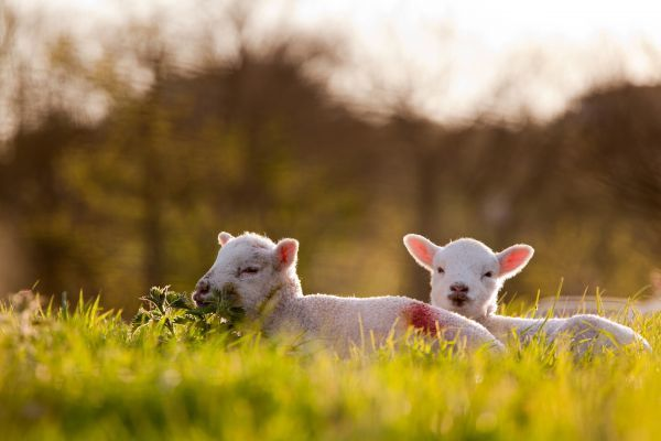 Domestic Sheep, two lambs, resting on pasture in morning sunshine, Northam, North Devon, England, april