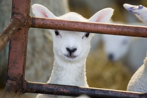 Domestic Sheep, lamb, close-up of head, looking out of pen, North Yorkshire, England, march